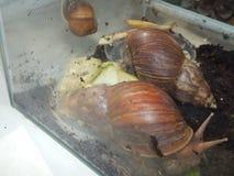 L'élevage de grands escargots dans la mini-serre Photo libre de droits