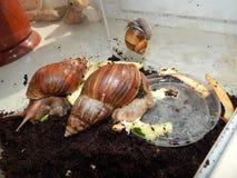 L'élevage de grands escargots dans la mini-serre Photographie stock libre de droits