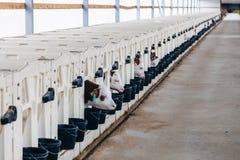 L'élevage de la jeune laiterie met bas dans la crèche avec les veau-boîtes blanches de veau-maisons dans la ferme de journal inti Photos stock