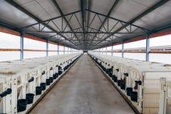 L'élevage de la jeune laiterie met bas dans la crèche avec les veau-boîtes blanches de veau-maisons dans la ferme de journal inti Photos libres de droits