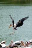L'élevage de vol a peint la cigogne vue de dessous sous un angle, marais, Thaïlande Images stock