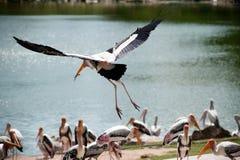 L'élevage de vol a peint la cigogne vue de dessous sous un angle, marais, Thaïlande Photos stock