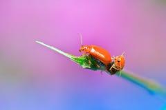 L'élevage des insectes de dame Photo libre de droits