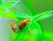 L'élevage des insectes de dame Photos stock