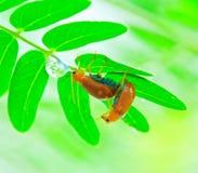L'élevage des insectes de dame Images stock