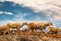 L'élevage des moutons en Phan a sonné, central du Vietnam Images libres de droits