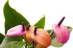 L'élevage des usines d'intérieur Le jardinier féminin garde la fleur d'anthure image stock