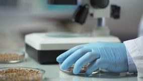 L'élevage expert de laboratoire a modifié des variétés de cultures, élevage organique de grain clips vidéos