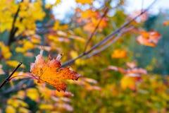 L'élevage part sur l'arbre d'érable pendant l'automne Photo libre de droits