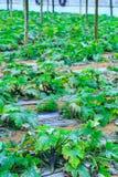 L'élevage plante une courgette dans un sol rouge à l'intérieur de greenh de plantation photo stock