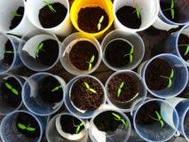 L'élevage poivre à la maison Image libre de droits
