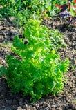 L'élevage sativa de Lactuca vert de laitue dans le jardin, se ferment  Photo stock