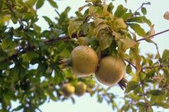 L'élevage sur la branche ne sont pas les fruits encore mûrs de grenade Image libre de droits