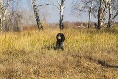 L'épagneul russe repéré se repose et examine la distance au YE Photo libre de droits