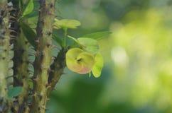 L'épine et la fleur de l'euphorbe images stock