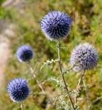 L'épine sauvage a couvert le paysage de boules bleues Photo stock