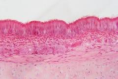 L'épithélium de Pseudostratified est un type d'épithélium cela photo libre de droits