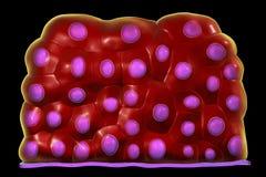 L'épithélium transitoire, a trouvé dans la vessie urinaire, l'urètre et des uretères illustration de vecteur
