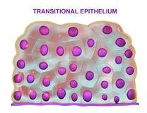 L'épithélium transitoire, a trouvé dans la vessie urinaire, l'urètre et des uretères illustration stock