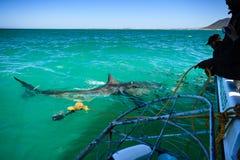 L'équipage abaisse la cage de requin avec le plongeur par le grand requin blanc image libre de droits