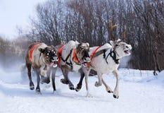 L'équipe des rennes vole au ras du chemin de neige. Images stock