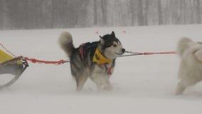 L'équipe enrouée de chien participe à la course banque de vidéos