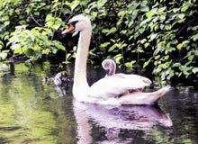 L'équitation de cygne de bébé sur des mères soutiennent Photo stock