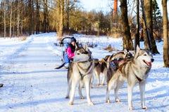 L'équitation de fille sur le traîneau a tiré par les chiens de traîneau sibériens de chien Photo stock