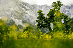 L'érable anglais de ressort du Tirol de pré ahornboden Photos stock