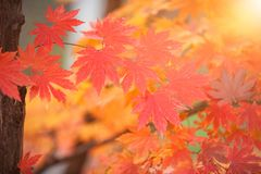 L'érable coloré part en automne pour le fond pour le texte Image libre de droits