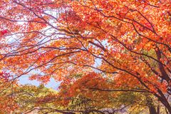 L'érable coloré part en automne pour le fond pour le texte Images libres de droits