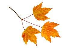 L'érable d'automne part du trio photographie stock libre de droits