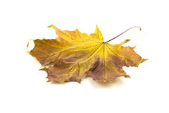 L'érable d'automne part sur un fond blanc de background Photo libre de droits