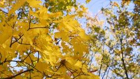 L'érable d'automne part sur une mouche en gros plan de branche d'arbre dans le vent contre le ciel bleu banque de vidéos