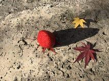 L'érable de fraise, rouge et jaune rouge part sur le plancher gris de ciment Photos stock
