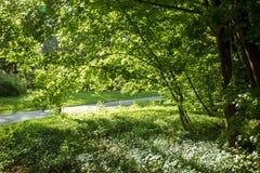 L'érable de ressort a dissous les feuilles vertes juteuses photographie stock libre de droits