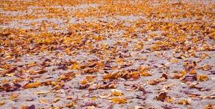 L'érable en baisse d'automne part du fond naturel Photographie stock libre de droits