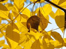 L'érable en baisse d'automne part du fond naturel Images libres de droits