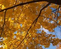 L'érable en baisse d'automne part du fond naturel Photos libres de droits
