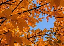 L'érable en baisse d'automne part du fond naturel Photographie stock