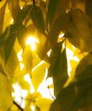 L'érable en baisse d'automne part du fond naturel Image libre de droits