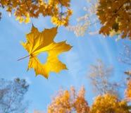 L'érable en baisse d'automne part du fond naturel Image stock