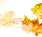 L'érable en baisse d'automne part du fond naturel Photo stock