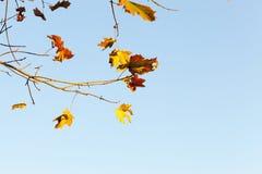 L'érable jaune et rouge part sur une branche d'arbre contre le ciel bleu Photo stock