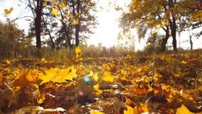 L'érable jaune laisse la chute en parc et soleil d'automne brillant par lui Beau fond d'horizontal Chute colorée clips vidéos