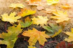 L'érable jaune part au soleil Image stock