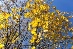 L'érable jaune part sur un arbre contre le ciel bleu Image stock