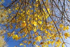 L'érable jaune part sur un arbre contre le ciel bleu Images stock