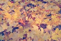 L'érable jaune sec part au sol avec le filte de style d'Instagram Photo libre de droits