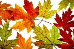 L'érable laisse des couleurs mélangées d'automne éclairées à contre-jour Photos libres de droits